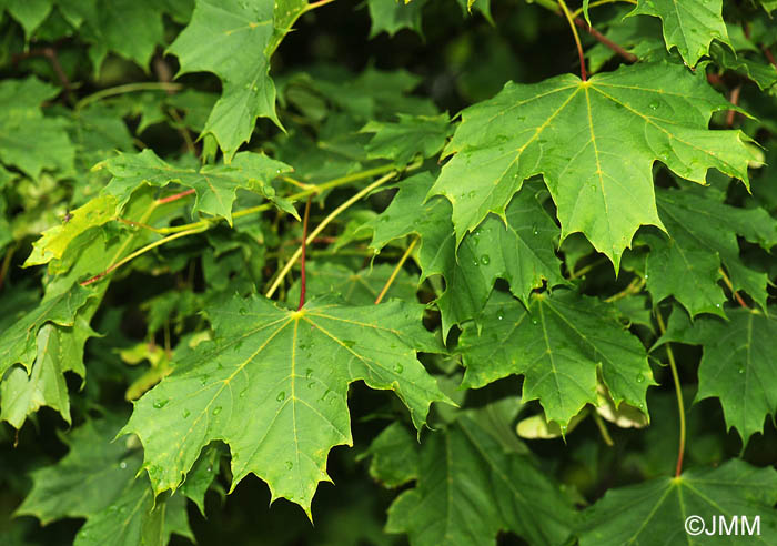 Images acer platanoides princeton gold pictures - Arce platanoide ...