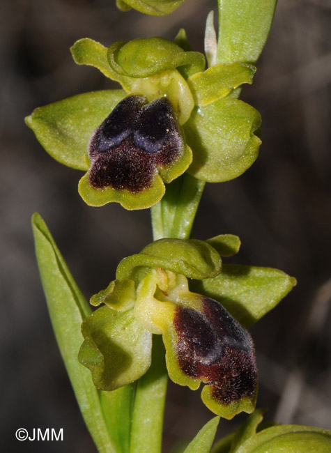 Ophrys cinereophila