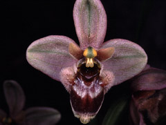 Ophrys x sommieri