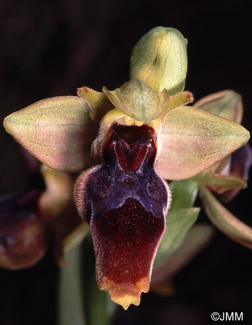 Ophrys lutea x Ophrys scolopax