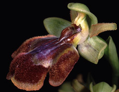 Ophrys x chobautii