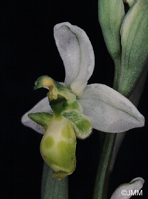 Ophrys picta f. chlorantha