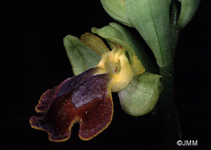 Ophrys melena