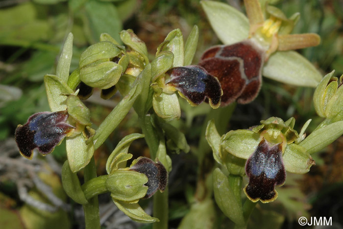 Ophrys cinereophila & Ophrys omegaifera