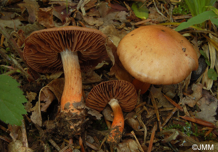 Cortinarius bulliardii
