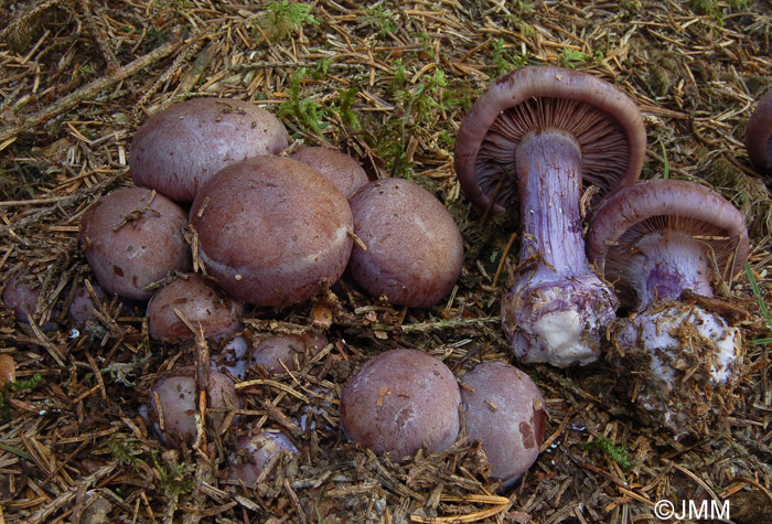Cortinarius purpurascens