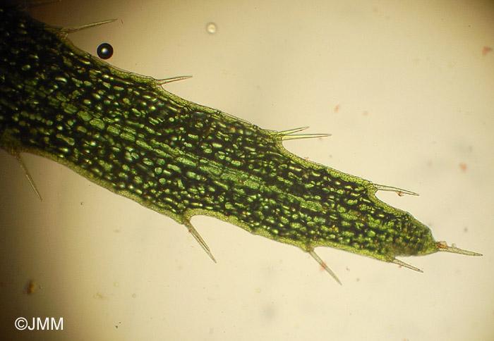 Utricularia intermedia   microscopie d une feuilleUtricularia Intermedia