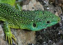 Reptile intro