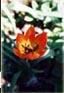 logo-tulipes.jpg (9311 octets)